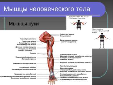 Мышцы человеческого тела Мышцы руки