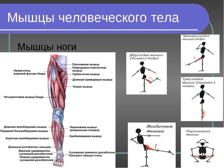 Мышцы человеческого тела Мышцы ноги