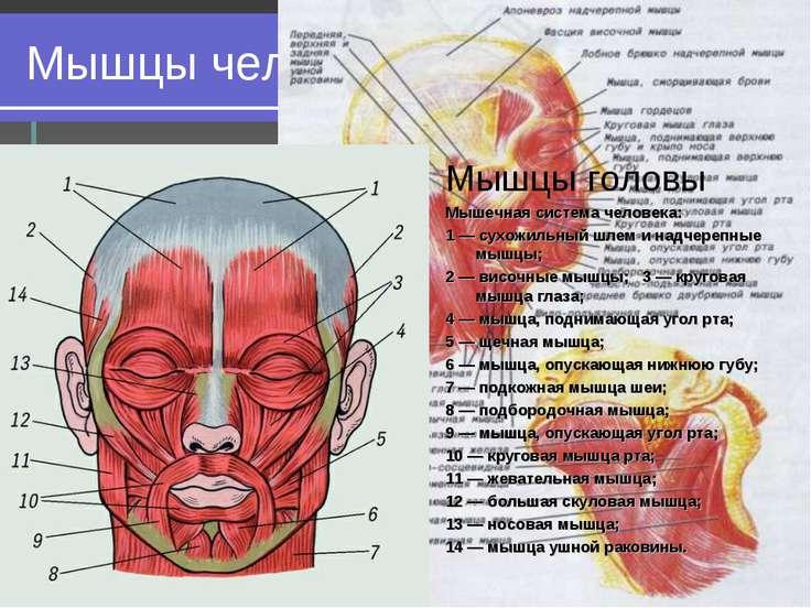 Лабораторная работа по биологии 8 класс мышцы человеческого тела скачать
