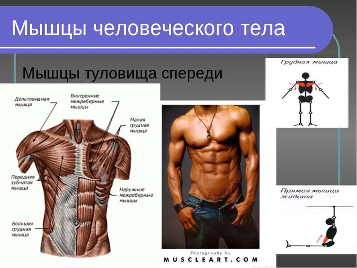 Мышцы человеческого тела Мышцы туловища спереди