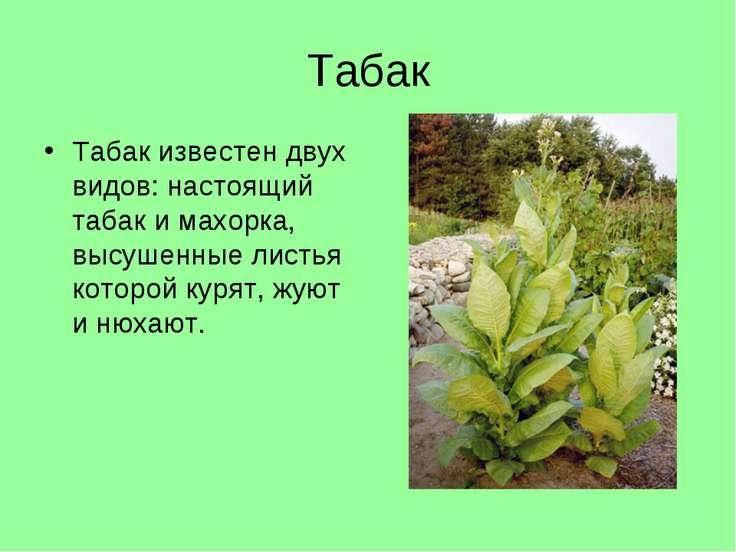 Табак Табак известен двух видов: настоящий табак и махорка, высушенные листья...