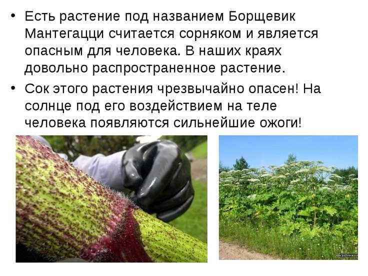 Есть растение под названием Борщевик Мантегацци считается сорняком и является...