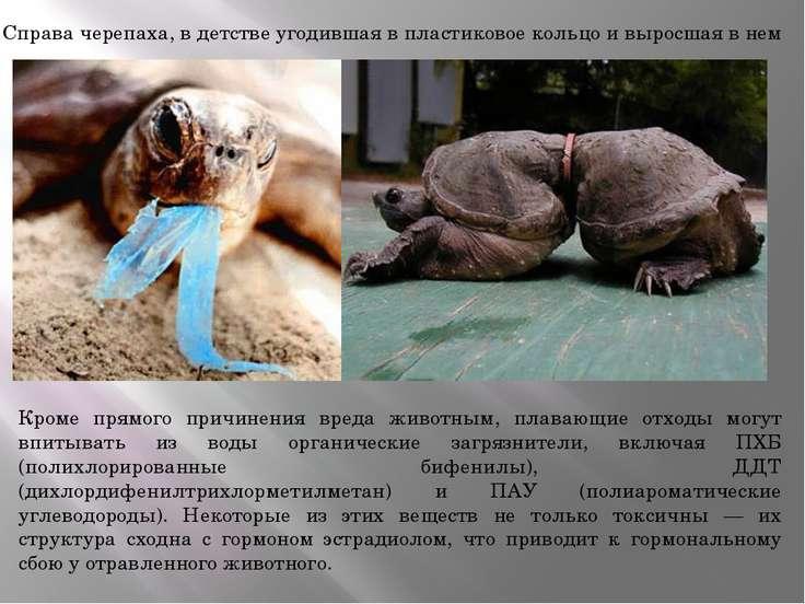 Справа черепаха, в детстве угодившая в пластиковое кольцо и выросшая в нем Кр...