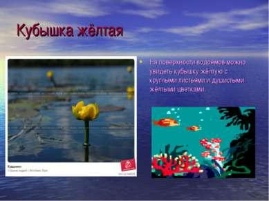 Кубышка жёлтая На поверхности водоёмов можно увидеть кубышку жёлтую с круглым...