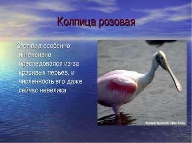 Колпица розовая Этот вид особенно интенсивно преследовался из-за красивых пер...