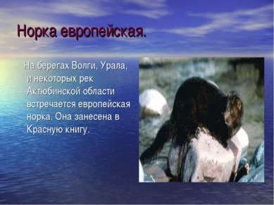 Норка европейская. На берегах Волги, Урала, и некоторых рек Актюбинской облас...