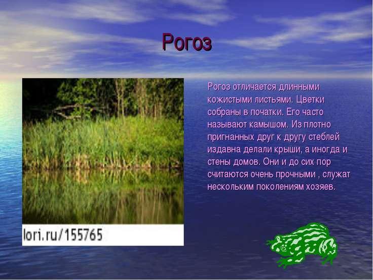 Рогоз Рогоз отличается длинными кожистыми листьями. Цветки собраны в початки....