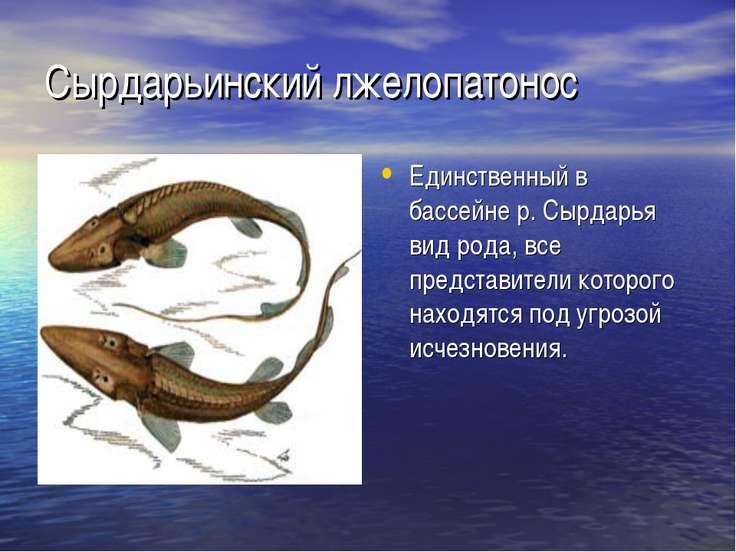Сырдарьинский лжелопатонос Единственный в бассейне р. Сырдарья вид рода, все ...