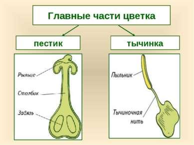 пестик тычинка Главные части цветка