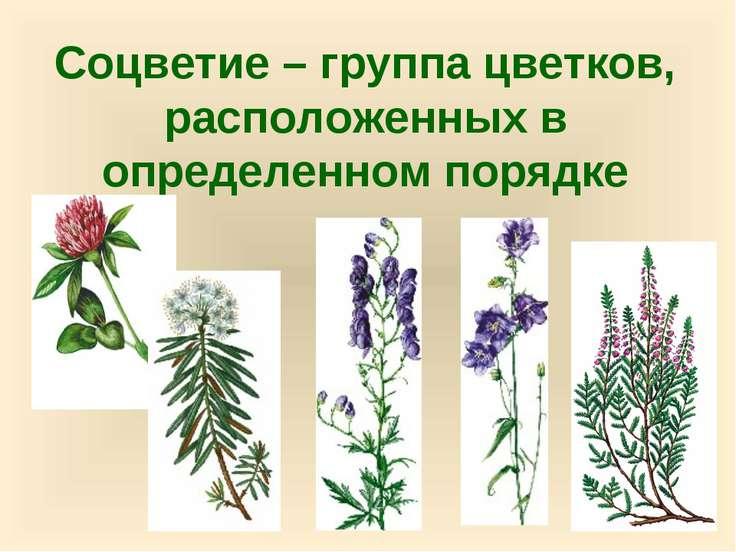 Соцветие – группа цветков, расположенных в определенном порядке