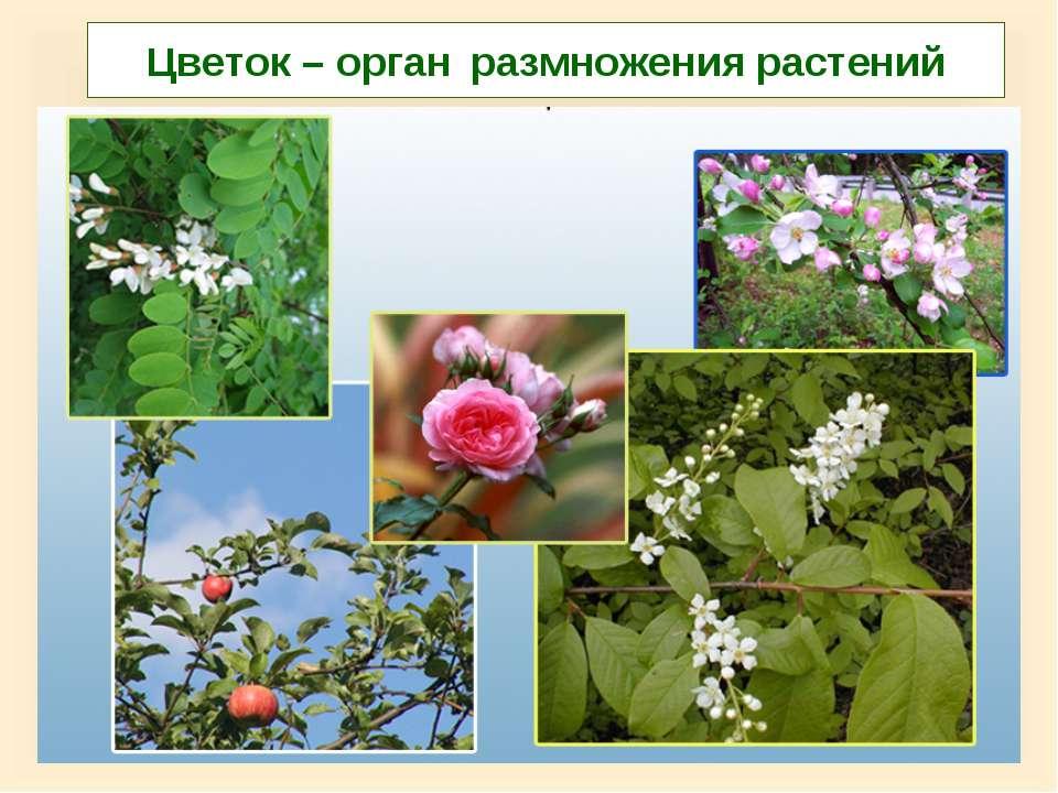 Цветок – орган размножения растений