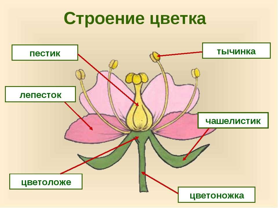 Строение цветка пестик лепесток тычинка цветоножка цветоложе чашелистик
