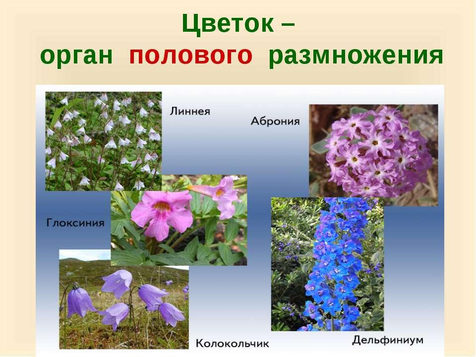 Цветок – орган полового размножения