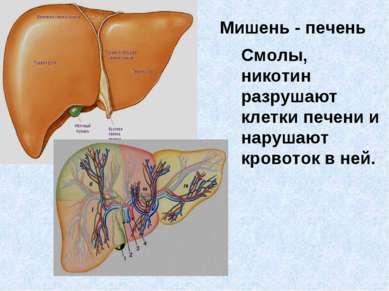 Мишень - печень Смолы, никотин разрушают клетки печени и нарушают кровоток в ...