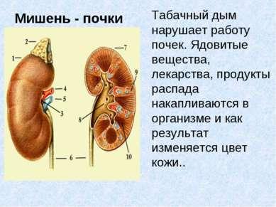 Мишень - почки Табачный дым нарушает работу почек. Ядовитые вещества, лекарст...