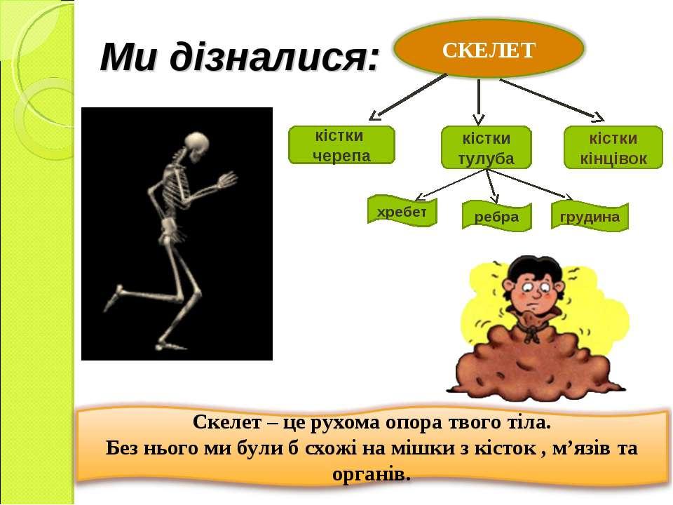 Ми дізналися: кістки черепа кістки тулуба хребет ребра кістки кінцівок грудина