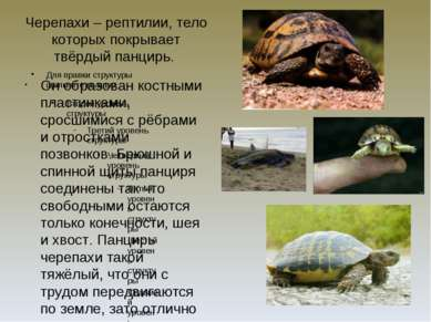 Черепахи – рептилии, тело которых покрывает твёрдый панцирь. Он образован кос...