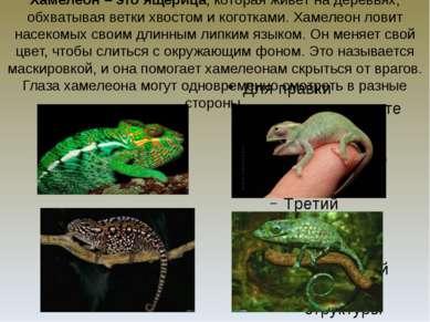 Хамелеон – это ящерица, которая живёт на деревьях, обхватывая ветки хвостом и...
