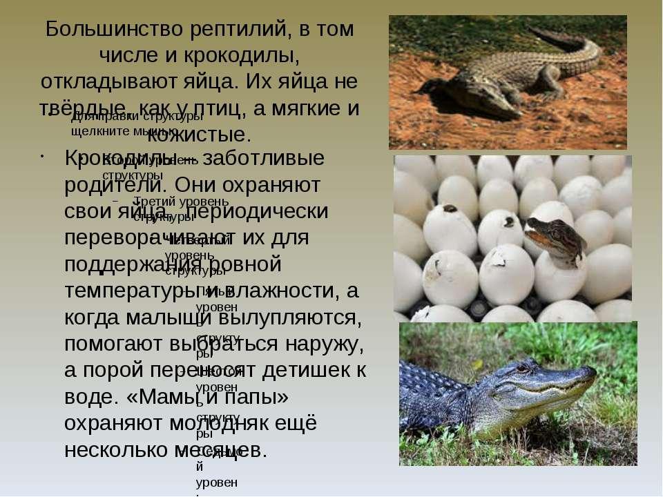 Большинство рептилий, в том числе и крокодилы, откладывают яйца. Их яйца не т...