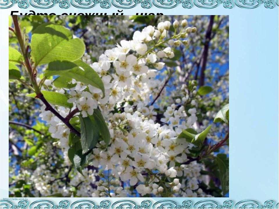 Будто снежный шар бела, По весне она цвела, Нежный запах источала А когда пор...