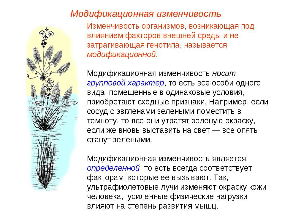 Модификационная изменчивость Изменчивость организмов, возникающая под влияние...