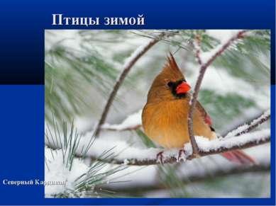 Птицы зимой Северный Кардинал