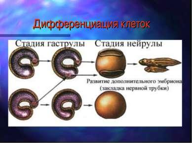 Дифференциация клеток