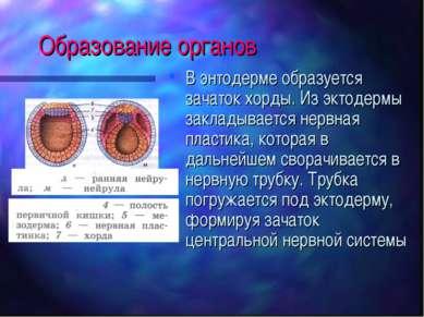 Образование органов В энтодерме образуется зачаток хорды. Из эктодермы заклад...