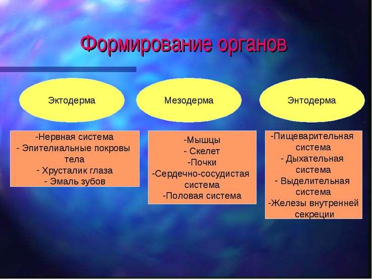 Формирование органов Эктодерма Мезодерма Энтодерма Нервная система Эпителиаль...