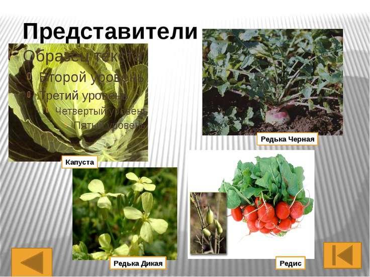 Это одно из крупных семейств цветковых растений, включающее около 100 родов и...