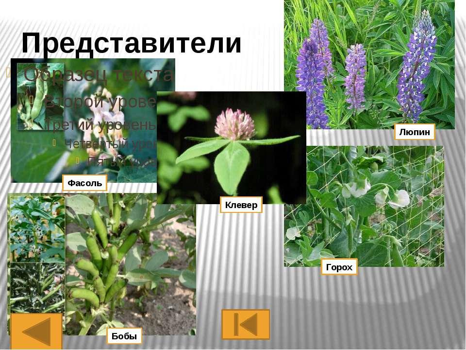 Многолетние травы, редко кустарники или небольшие деревья. Свыше 3000 видов (...