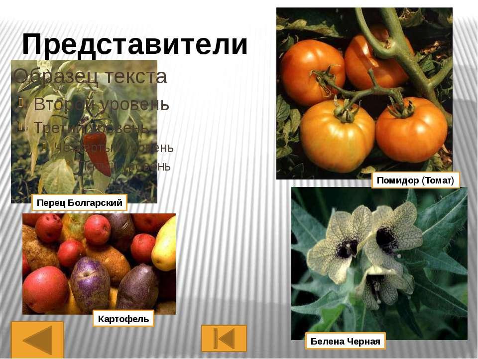 Представители Тысячелистник Тмин Укроп Дягель