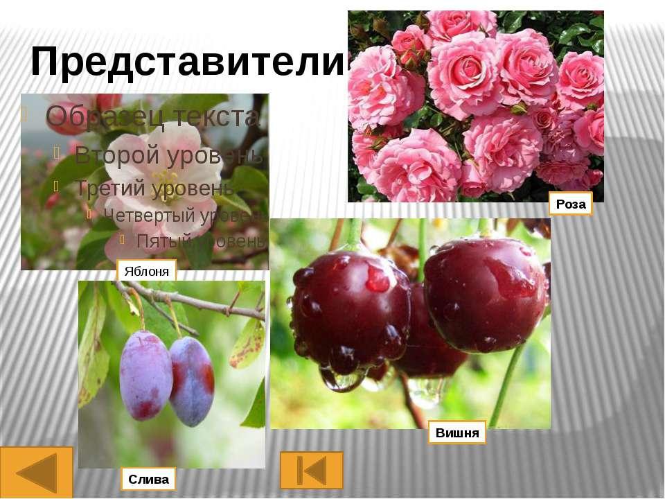 «нервация» листьев, характер распределения жилок в листовых пластинках. Для д...