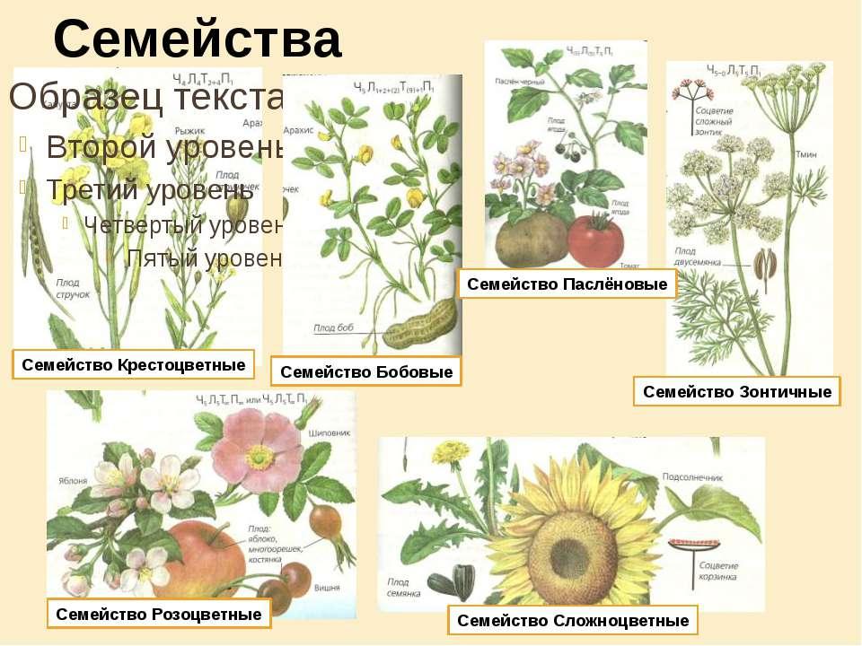 Общее число видов двудольных растений - свыше 200 тыс. (около 10 тыс. родов и...