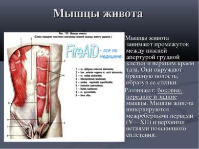 Мышцы живота Мышцы живота занимают промежуток между нижней апертурой грудной ...