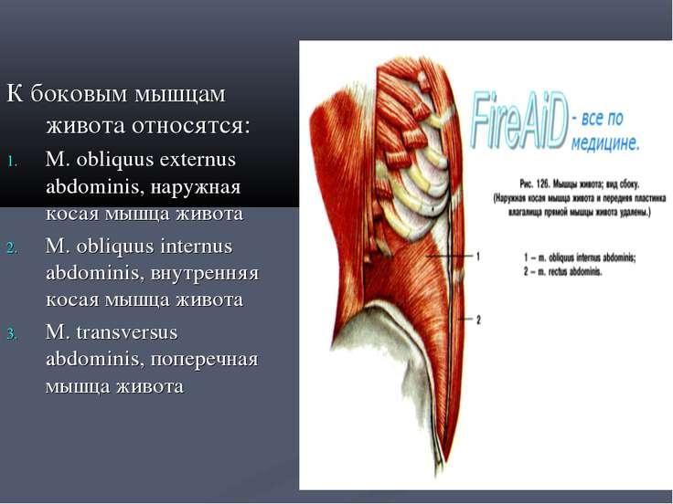 К боковым мышцам живота относятся: М. obliquus externus abdominis, наружная к...