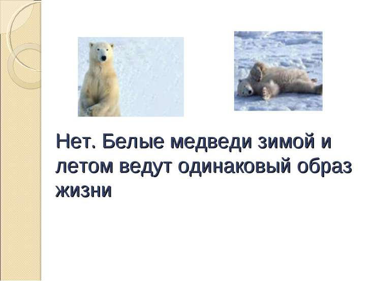 Нет. Белые медведи зимой и летом ведут одинаковый образ жизни