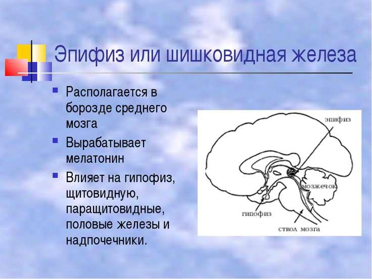 Эпифиз или шишковидная железа Располагается в борозде среднего мозга Вырабаты...