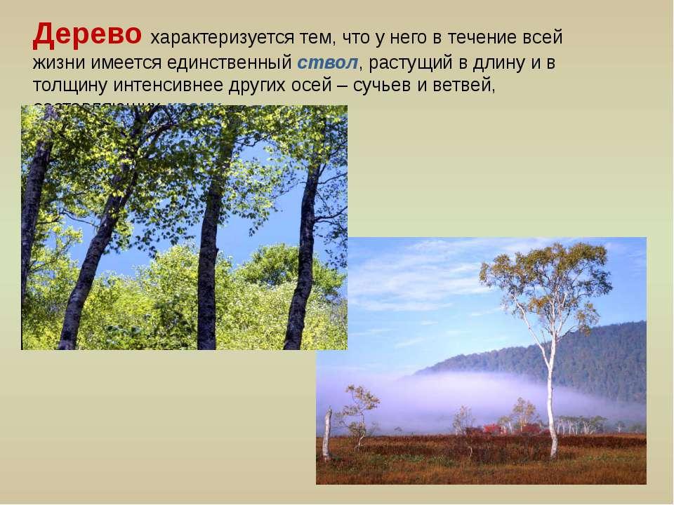 Дерево характеризуется тем, что у него в течение всей жизни имеется единствен...