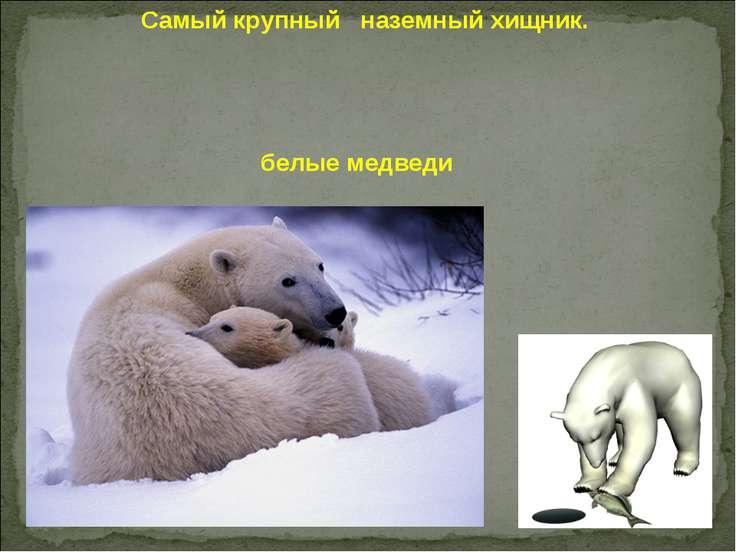 белые медведи Самый крупный наземный хищник.