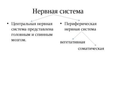 Нервная система Центральная нервная система представлена головным и спинным м...
