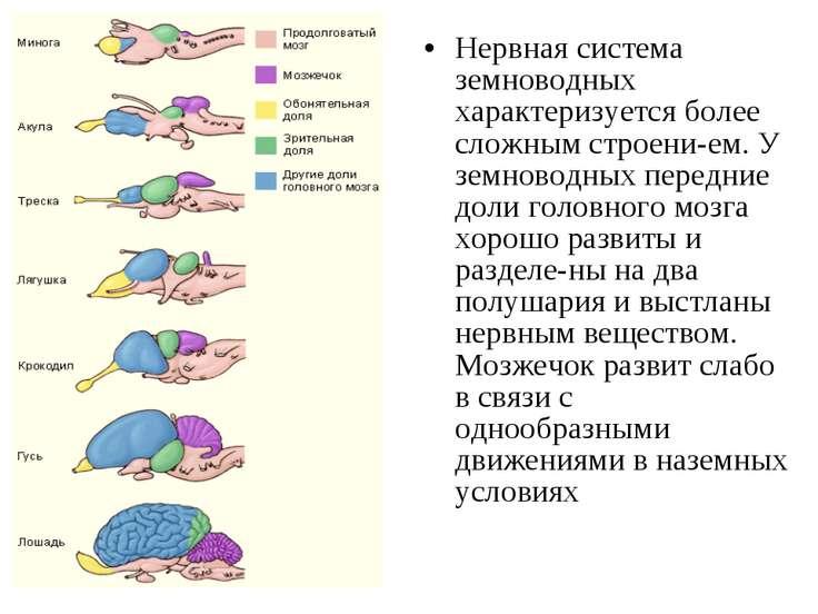 Нервная система земноводных характеризуется более сложным строени ем. У земно...