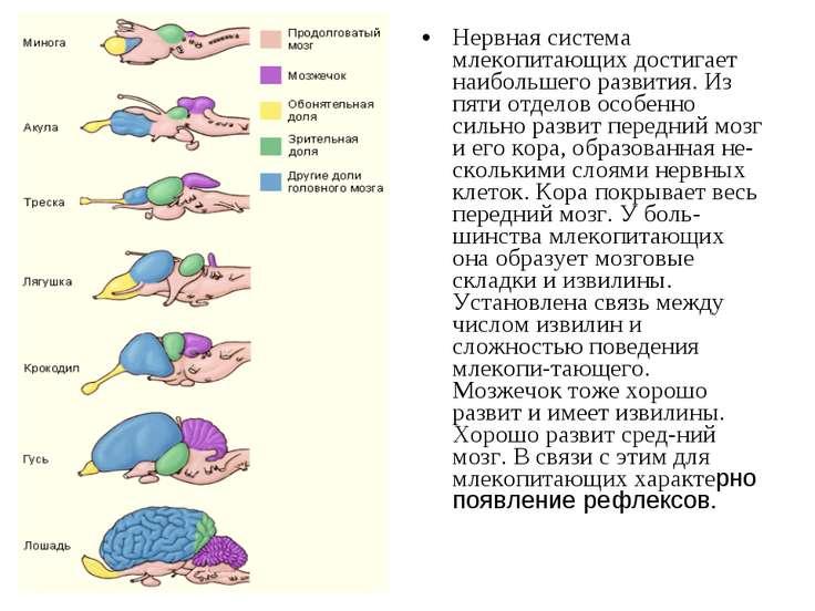 Нервная система млекопитающих достигает наибольшего развития. Из пяти отделов...