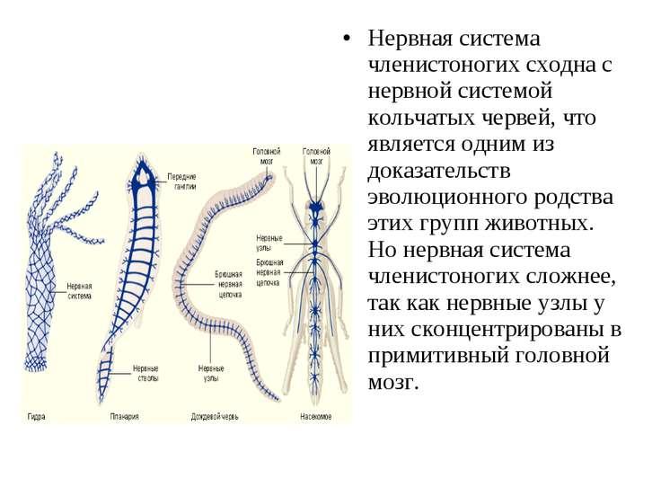 Нервная система членистоногих сходна с нервной системой кольчатых червей, что...