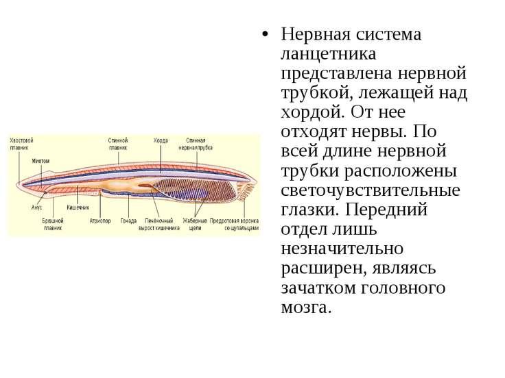 Нервная система ланцетника представлена нервной трубкой, лежащей над хордой. ...