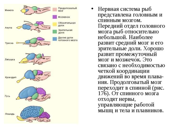 Нервная система рыб представлена головным и спинным мозгом. Передний отдел го...