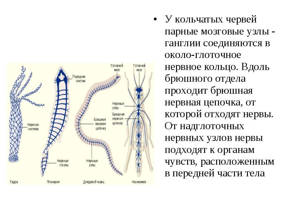У кольчатых червей парные мозговые узлы - ганглии соединяются в около глоточн...