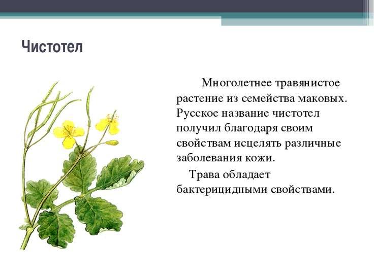 Чистотел Многолетнее травянистое растение из семейства маковых. Русское назва...