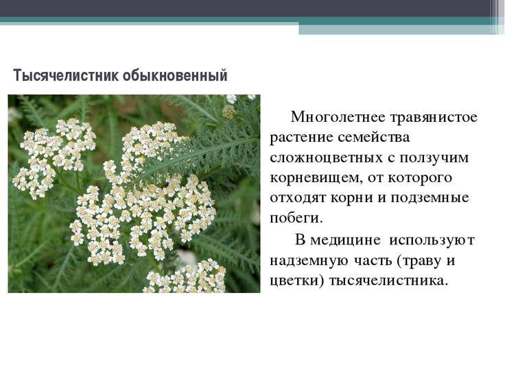 Тысячелистник обыкновенный Многолетнее травянистое растение семейства сложноц...