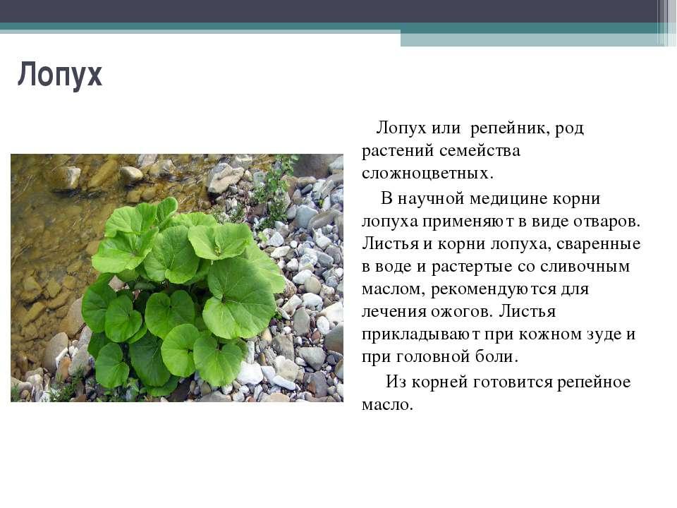 Лопух Лопух или репейник, род растений семейства сложноцветных. В научной мед...